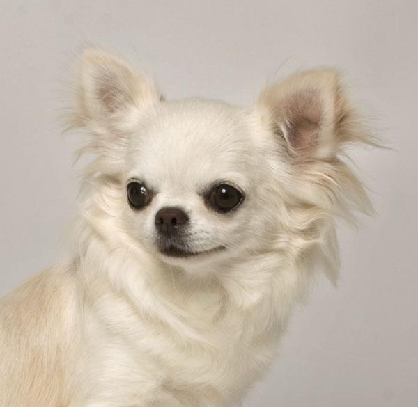 собака чихуахуа характеристика породы