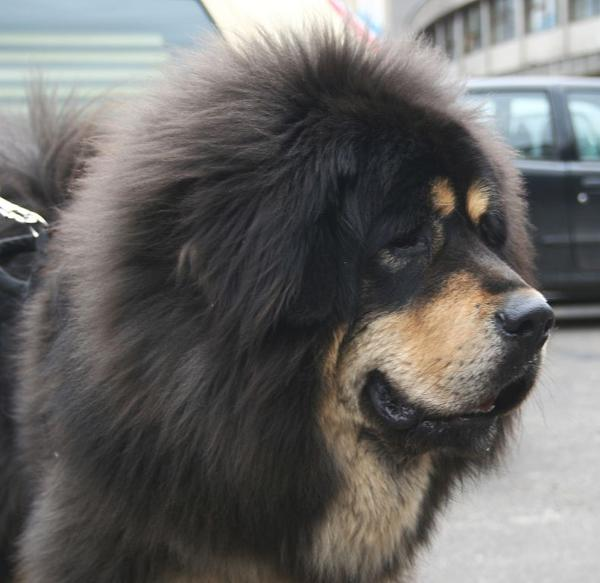 тибетский мастиф фото описание породы